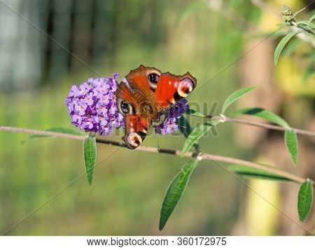 European Peacock Butterfly (aglais Io) Sitting On Purple Blossom Of Buddleja Davidii Bush
