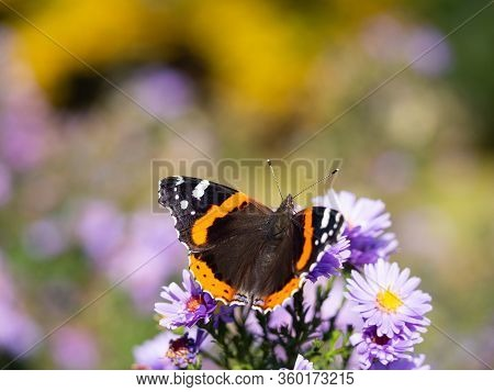 Red Admiral Butterfly (vanessa Atalanta) Sitting On Purple Chrysanthemums Flower On Sunny Summer Day