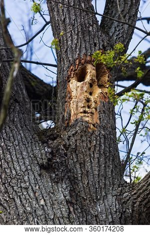 Tree Trunk Hole Made By A Pileated Woodpecker