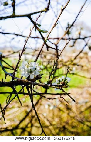 Blackthorn Blossom Close Up With Fields Behind