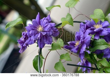 Purple Clematis Blooming In The Garden On Daytime
