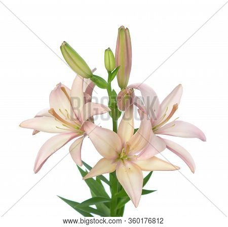 Pink Color Lily Flower Isolated On White