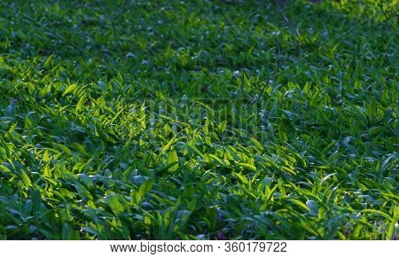Green Leaves Wall Background. Nature Spring Forest Carpet