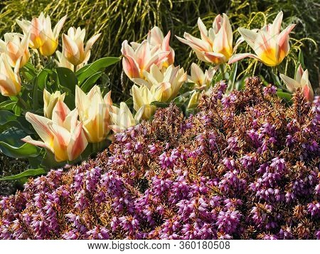 Two-toned Early Tulips