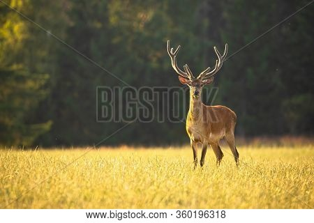Alert Red Deer Stag With Antlers In Velvet Looking To Camera On Meadow At Sunset