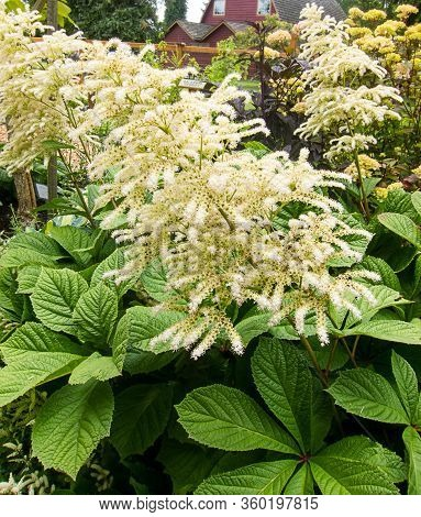 Garden Plant Rodgersia With Its Cream Colored Plumes In Bloom.  This Finger Leafed Rodgersia Is A Pe