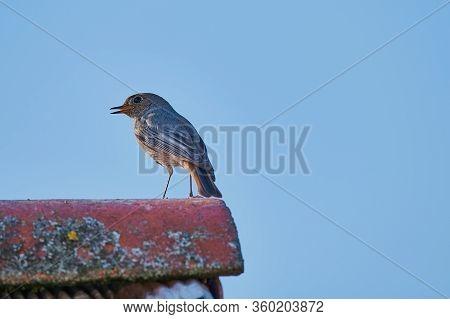 Bird Called Black Redstart - Phoenicurus Ochruros - Against Blue Sky On A Rooftop