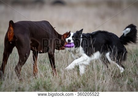 Dog Doberman Brown And Tan Red Cropped Playing With White Black Border Collie With Puller