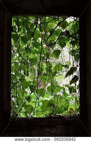 Vine Leaf Curtain On The Broken Window Of An Abandoned House Reclaimed By Nature.