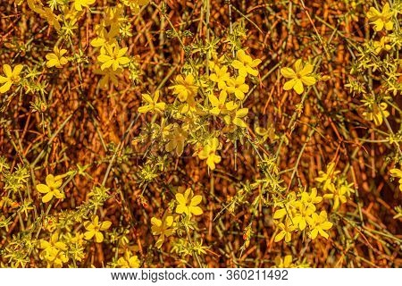 Beautiful Florets In The Park. Spring Blossoming Forsythia With Soft Focus And Blurry. Nature Blurry