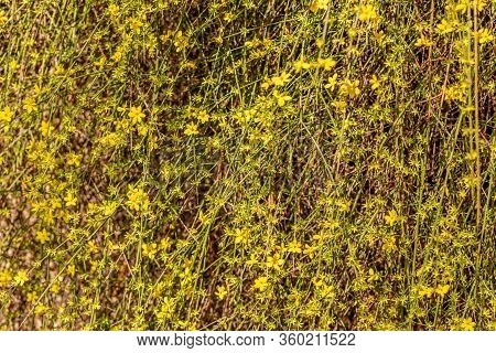 Spring Blossoming Florets With Soft Focus And Blurry. Selective Focus. Blooming Forsythia Branch In