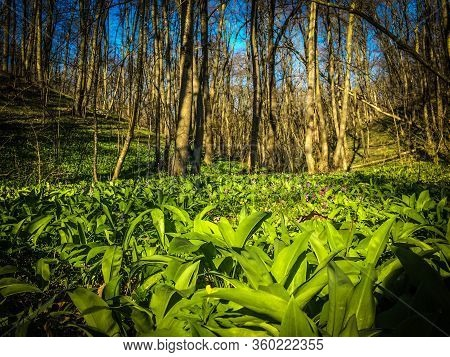 Wild Green Ramson Leaves In Spring. Wild Garlic Green Meadow In Forest