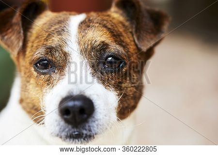 Beautiful Portrait Of Small Dog Posing For The Photographer