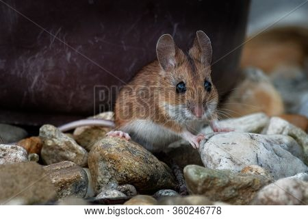 Wood Mouse - Apodemus Sylvaticus Is Murid Rodent Native To Europe And Northwestern Africa,  Common N