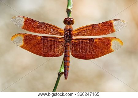 Dragonfly - Neurothemis Fulvia, Fulvous Forest Skimmer Is A Species Of Red Dragonfly Found In Asia