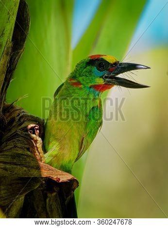 Psilopogon (megalaima) Mystacophanos - Red-throated Barbet  Bird In Megalaimidae, Found In Brunei, I