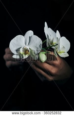closeup of a man holding the beautiful white flowers of a phalaenopsis aphrodite orchid against a black background