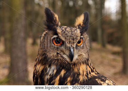 The Eurasian Eagle-owl (bubo Bubo) , Portrait In The Forest.