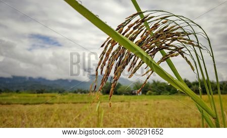 Bunch Of Golden Paddy Grain With Field Background