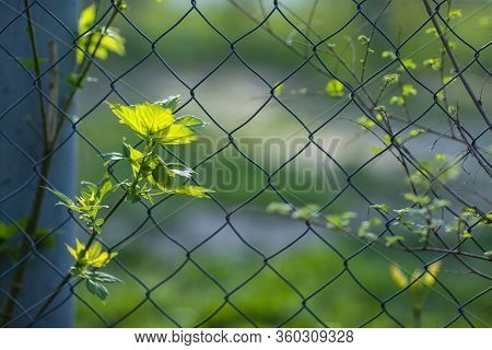 Spring Leaves Of A Tree On A Background Of A Fence From A Chain-link