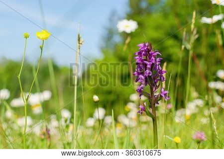 Dactylorhiza Majalis - Endangered Spiece Of Wild Orchid  (western Marsh Orchid, Broad-leaved Marsh O
