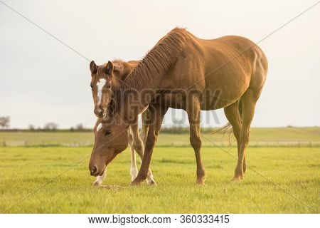 English Thoroughbred Horse, Mare With Foal At Sunset In A Meadow. Foal Looking At The Camera.
