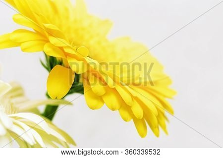 Delicate Yellow Gerbera Flower Close Up On Light Background. Flowery Greeting Card, Nature Or Enviro