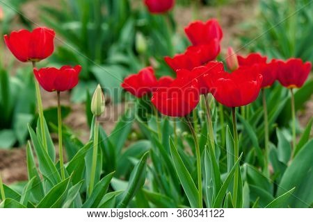 Bunch Of Red Tulip In The Garden. Beautiful Nature Background In Spring