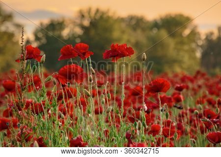 Red Poppy Flower Field In The Mountains. Beautiful Nature Scenery In Summer Afternoon