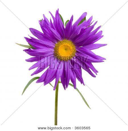 Violet Aster
