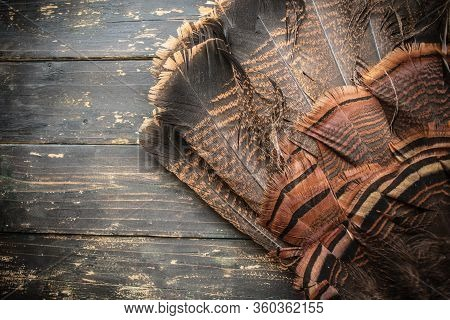 Wild Turkey Fan Feathers Background
