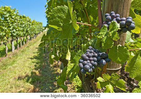 Blue Ripe Grapes In A Vineyard