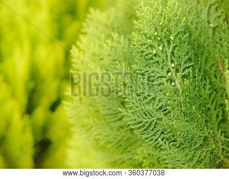 Japanese Cypress (chamaecyparis Obtusa) Or Hinoki Cypress Branch, Sprigs Of Cypress Close-up. Christ