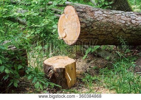 Felled Trees In A Stack, Logs From Felled Tree Trunks