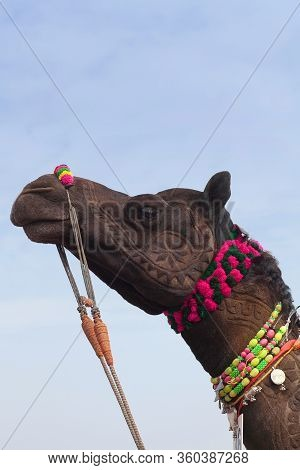 Beautiful Decorated Camel Close Up On Bikaner Camel Festival In Rajasthan, India. The Camel Festival