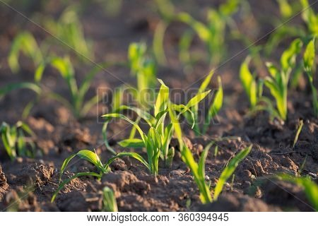 Young Fresh shoots of wheat on the field