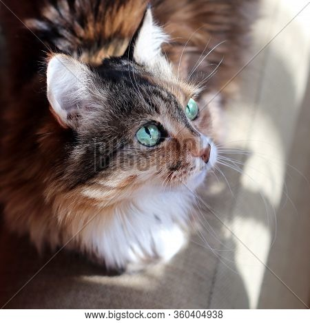 Domestic Cat. A Beautiful Old Cat With Green Intelligent Eyes. Tricolor Cat Hair: White, Red And Bla