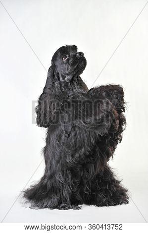 A Black Haired Cocker Spaniel Beggs On A White Background, Cocker Spaniel In Studio