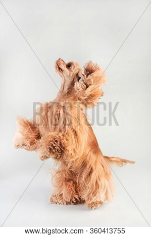 A Blond Haired Cocker Spaniel Beggs On A White Background, Cocker Spaniel In Studio