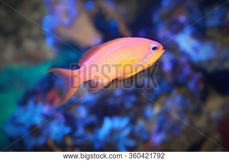 The Dispar Anthias (pseudanthias Dispar) Is Commonly Known As The Madder Seaperch  In Saltwater Aqua