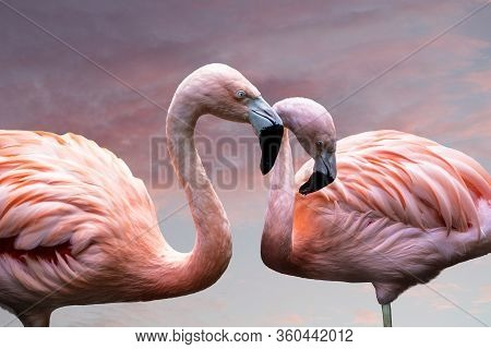 American Flamingos. The American Flamingo (phoenicopterus Ruber) Is A Large Species Of Flamingo Also