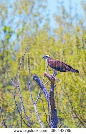 Osprey (pandion Haliaetus) Eating Fish In Blackwater National Wildlife Refuge. Dorchester County. Ma
