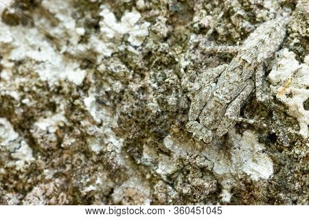 Praying Mantis On The Rock In Tropical Forest. Mantis Disguise Or Camouflage As A Stone. Closeup And