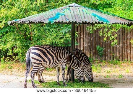 Grant's Zebra (equus Quagga Boehmi) Eating Grass In A Paddock