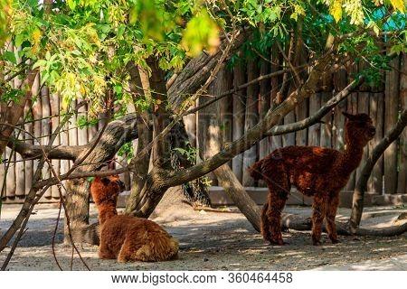 Brown Alpacas (vicugna Pacos) On A Farmyard