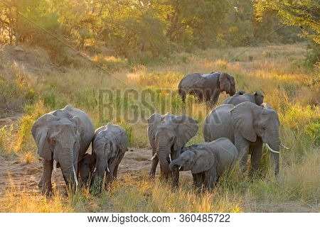 Herd of African elephants (Loxodonta africana) in late afternoon light, Kruger National Park, South Africa