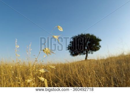 closeup oat stem and blurred shape of lone tree on horizon in Sicily at evening