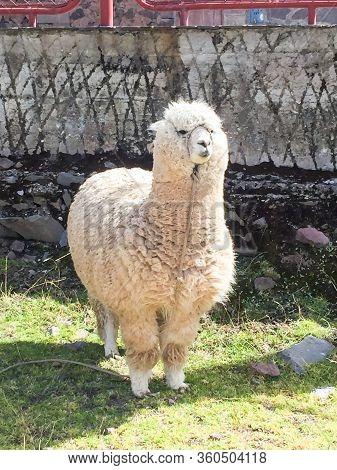 A Fat Alpaca Standing In The Ruins Of Inco Uyo In Puno, Peru.