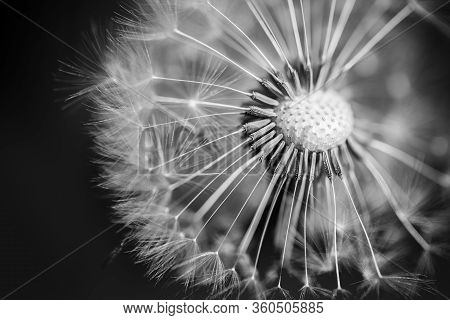 Black And White Macro Of A Dandelion With Droplets On The Delicate Blue Background. Closeup Nature B