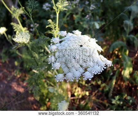 Blooming Flowers Of Wild Carrot. Daucus Carota, Whose Common Names Include Wild Carrot, Birds Nest,